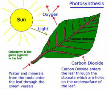 to investigate the effect of carbon # 43 effect of carbon dioxide on the rate of photosynthesis when the concentration of co2 is low the rate of photosynthesis is also low (the plant has to spend time waiting for more co2 to arrive).